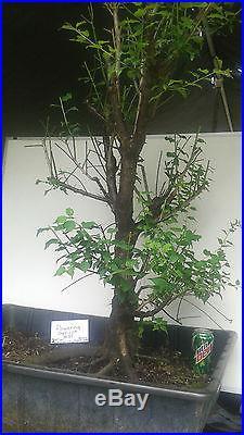 Bonsai Japanese Flowering Apricot