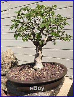 Bonsai Japanese Hornbeam shohin medium show winning tree high end bark 21yrs