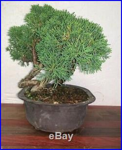 Bonsai Japanese Shimpaku kishu shohin mame 35yrs twisted trunk show tree A+