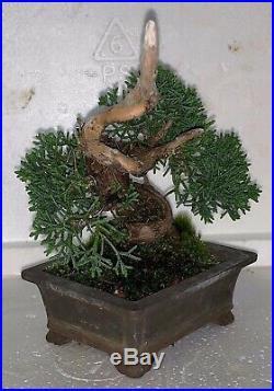 Bonsai Japanese Shimpaku kishu shohin mame 41yrs twisted trunk dead wood show A+