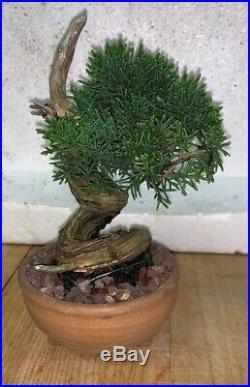 Bonsai Japanese Shimpaku kishu shohin mame 51yrs twisted trunk dead wood show A+