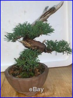 Bonsai Japanese Shimpaku kishu shohin mame 53yrs twisted trunk dead wood show A+