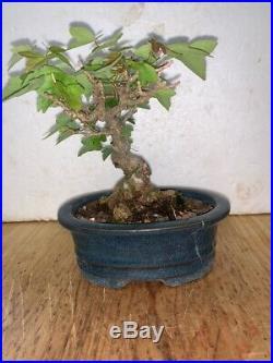 Bonsai Japanese TRIDENT maple shohin mame SHOW READY 36YRS