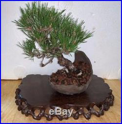 Bonsai Japanese black pine shohin mame show ready custom pot 47yrs large trunk