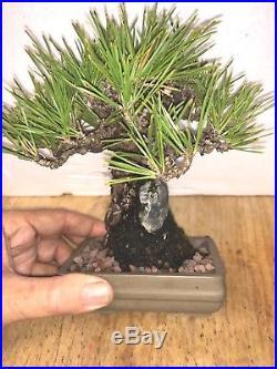 Bonsai Japanese black pine shohin mame show ready embeded rock 53yrs large trunk