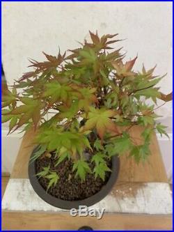 Bonsai Japanese coral bark maple shohin mame show ready 25yrs