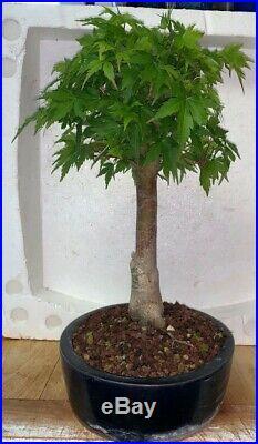 Bonsai Japanese coral bark maple shohin show ready 43yrs A+++ best seen