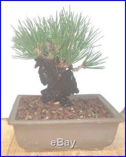 Bonsai Japanese cork bark black pine shohin mame show ready 51yrs corkbark A++++