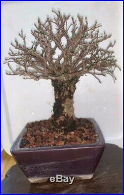 Bonsai Japanese cork bark elm shohin mame show ready 51yrs large trunk corkbark