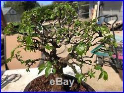 Bonsai Japanese elm 21 years old shohin medium show winning tree high end bark