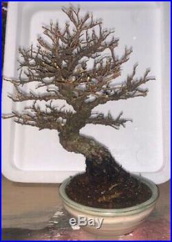 Bonsai Japanese elm shohin mame show ready 49yrs large trunk A+++