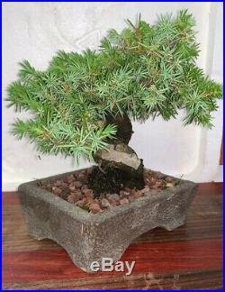 Bonsai Japanese juniper shohin mame 40yrs twisted trunk show A+ dead wood