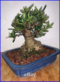 Bonsai Japanese olive shohin mame show ready 48yrs A+ shari yamadori sm leaf
