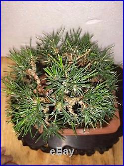 Bonsai Japanese red pine shohin mame show ready massive trunk top notch LG trunk