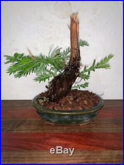 Bonsai Japanese redwood shohin mame 40yrs twisted trunk dead wood A++++