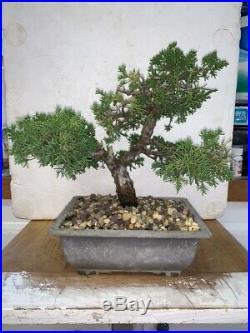 Bonsai Japanese shimpaku juniper shohin mame show ready 31yrs