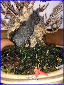 Bonsai Japanese trident maple root over rock shohin mame show ready 35yrs A+++