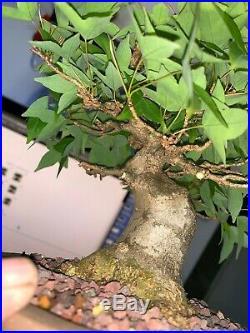 Bonsai Japanese trident maple shohin mame show ready 57yrs A+++ best seen