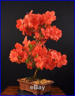 Bonsai Japanische Satsuki-azalee Rhododendron Indicum Benigasa