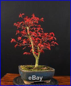 Bonsai Japanischer Fächerahorn Acer Palmatum Deshojo Outdoor Ahorn