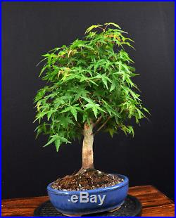 Bonsai Japanischer Fächerahorn Acer Palmatum Katsura Outdoor Ahorn Nebari