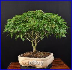 Bonsai Japanischer Fächerahorn Acer Palmatum Kiyohime Outdoor Ahorn