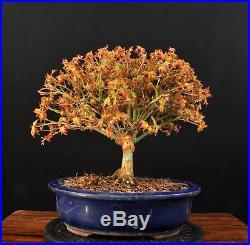 Bonsai Japanischer Fächerahorn Acer Palmatum Kiyohime Outdoor Ahorn Baum