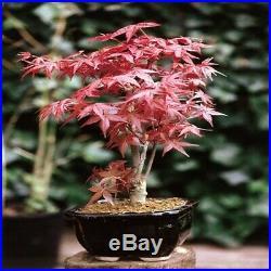 Bonsai Japanischer Roter Fächerahorn Acer Palmatum Deshojo