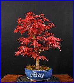 Bonsai Japanischer Roter Fächerahorn Acer Palmatum Deshojo Outdoor Ahorn