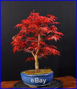indoor bonsai palmatum. Black Bedroom Furniture Sets. Home Design Ideas