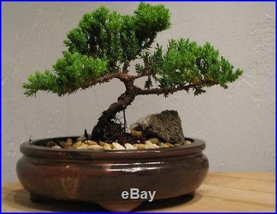 Bonsai Juniper Tree Zen Garden Nice Gift Indoor/Outdoor Best Japanese Dwarf