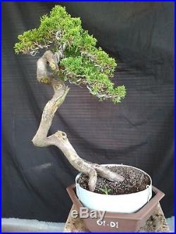 Bonsai Juniperus Chinensis Sargentii 01.01