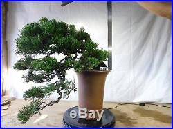 Bonsai Juniperus Chinensis Sargentii 28.1326 Very Old Tree