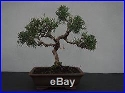 Bonsai Juniperus chinensis Chinesischer Wacholder 150010
