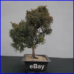 Bonsai Juniperus chinensis Chinesischer Wacholder 150111