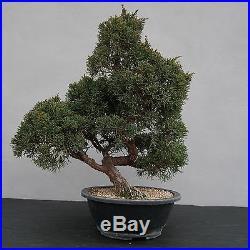 Bonsai Juniperus chinensis Chinesischer Wacholder 150116