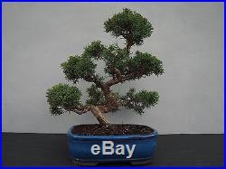 Bonsai Juniperus chinensis Chinesischer Wacholder 150118