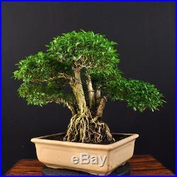 Bonsai Junischnee Baum Der 1000 Sterne Serissa Foetida Indoor Alt Nebari
