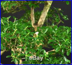 Bonsai Junischnee Serissa Foetida Indoor Kleinblättrig Baum Der 1000 Sterne