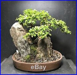 Bonsai Kingsville Boxwood Saikei, Mini Rocky Landscape 9 Years From Cutting