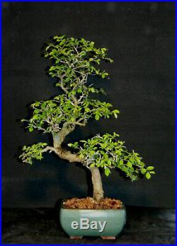 Bonsai Large OLD Chinese Elm #7660
