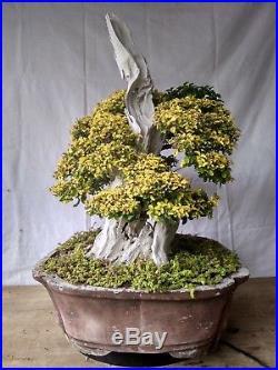 Bonsai Ligustrum Golden M. 17.666