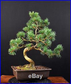 Bonsai Mädchenkiefer Kiefer Pinus Pentaphylla Glauca Japan Outdoor