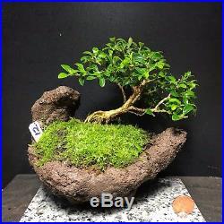 Bonsai Mame Tree Kingsville Boxwood 8 Years Old, Kurama Scoop Shape Pot
