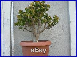 Bonsai Micro Jade 30 Tall From Bottom Of Pot 22 Wide