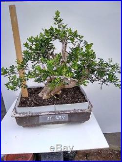 Bonsai Murraya Paniculata 38.455