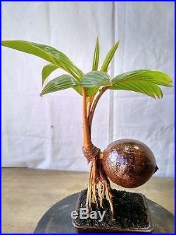 Bonsai Orange Coconut Bonus Pot