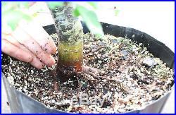 Bonsai, Parsley Leaf Hawthron, Native, Prebonsai, Radial Nebari, Shohin- Kifu