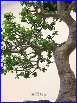 Bonsai Portulacaria afra
