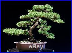 Bonsai Pro Nana Green Mound Juniper GMJ-916